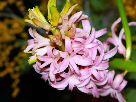flowers plant hyacinth