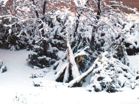 snow-covered trunks and tree