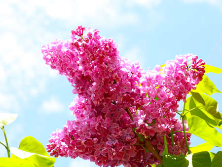bouquet of red lilac