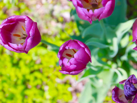 lovely garden purple tulips