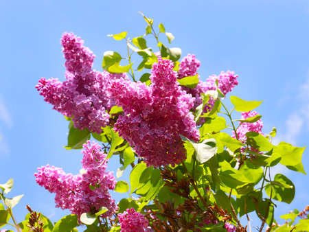 bouquet of red lilac Imagens - 122423074