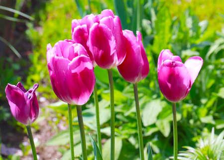 lovely garden purple tulips Imagens - 122423149