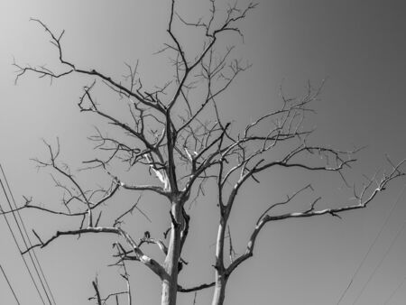 tree branches: Branch of dead tree on black and white background.
