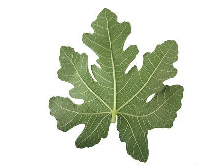 milieux Fig feuille avec isolat.
