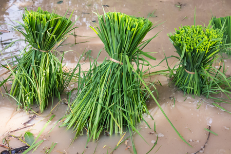 transplanted: Bundle of rice seedlings ready for transplanted Stock Photo