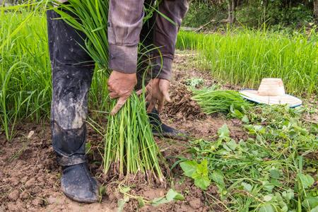 transplants: Farmer prepare seedling for transplant rice. Stock Photo