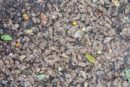 samanea saman: Dry  autumn leaves background.