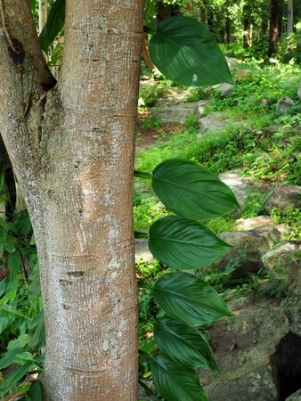 (Plant)Epipremnum aureum climb on trees Stock Photo