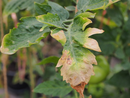 Leaf tomato deficiency nutrient