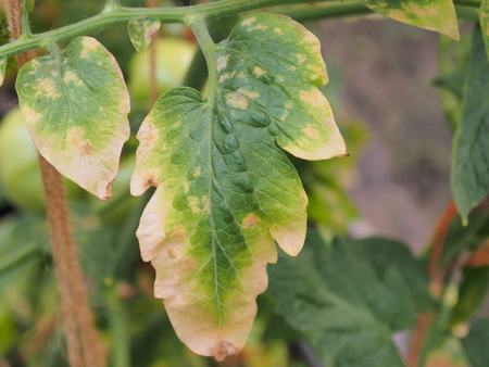 deficiency: Leaf tomato deficiency nutrient