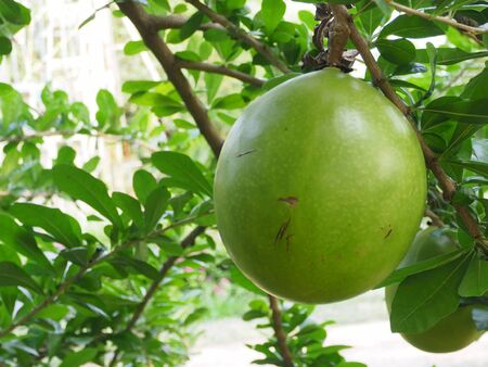fruit of the Calabash tree in the garden Stock Photo