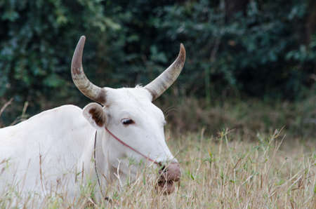 asian cow photo