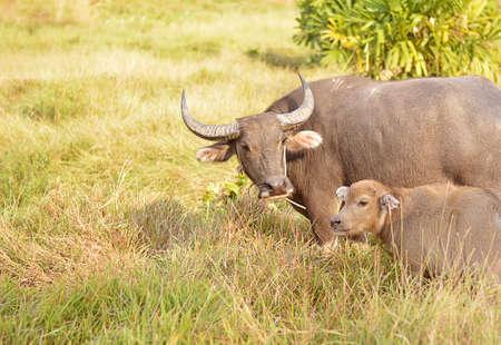 buffalo grass: Buffalo on the grass sunset background