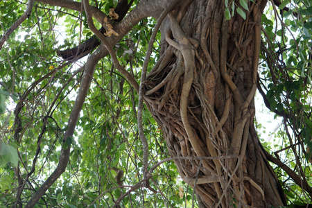 Banyan roots wrapped around the trunk