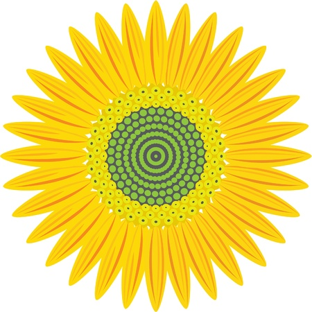 sunflower isolated: girasol aislado en blanco