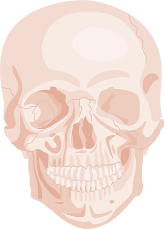 skull isolated on white Vector