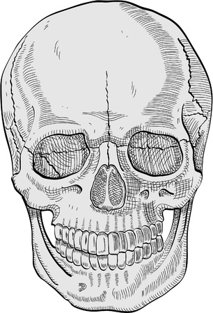 The human skull for your best design  Vector