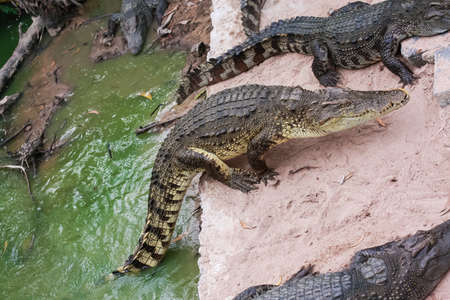 Hungry crocodiles are between land and water Stock Photo
