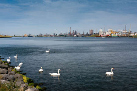 Flock of swans against the big factory