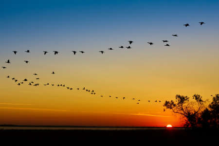 water birds: Wedge of cranes on sunset Stock Photo