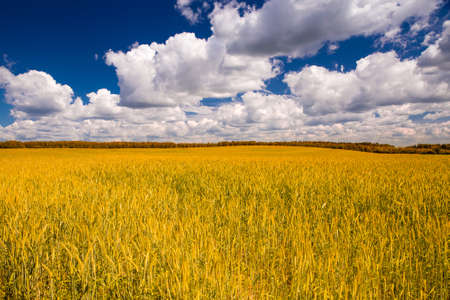 Yellow wheat field and blue sky with clouds Stock Photo