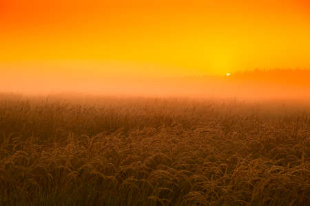 Honey sunset in the wheat field in August Stock Photo