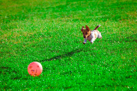 small dog: Jack Russell Terrier playing with a ball Stock Photo