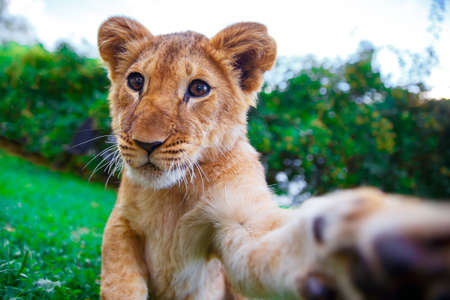 Lion cub giving a paw in green sunny savanna