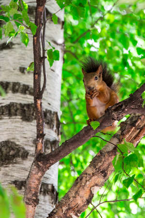 Squirrel eat the nut sitting on the birch