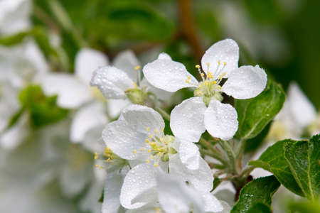 Spring blossom apple tree, close-up white flowers with morning dewdrops  Spring flowers  Spring Background