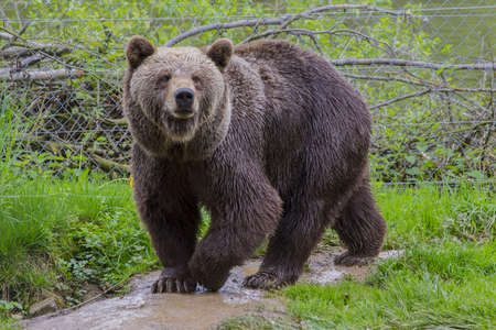 grizzly bear: Brown Bear