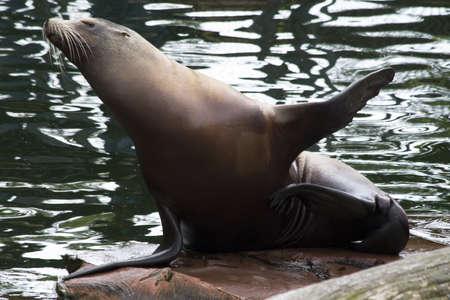 pinniped: Seal Stock Photo