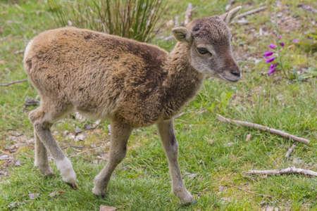 mouflon: Mufl?n