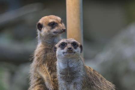 herpestidae: Meerkat Family