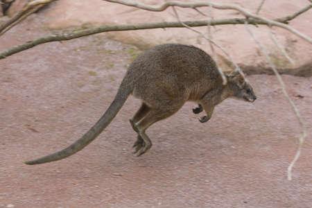 Little Kangaroo Stock Photo - 22627646