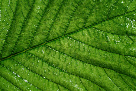 Texture. Green chestnut leaf with drops of water. 版權商用圖片