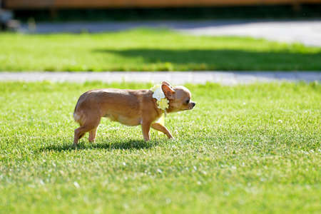A little scared dog runs along the grass. Have a dog on a collar with yellow flowers