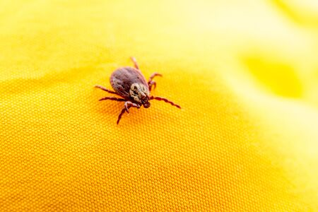 Closeup picture of mite on the yellow clothes isolated.