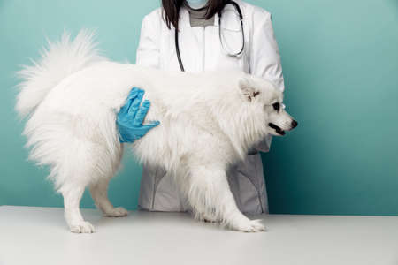 Veterinary in uniform checks the white dog on the table in vet clinic on blue background