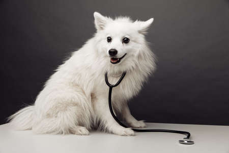 White dog with stethoscope on table in vet clinic on grey background. Pet care concept
