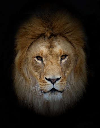 lion Zdjęcie Seryjne