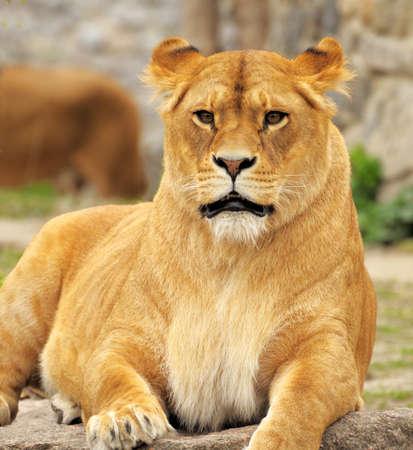 ライオン 写真素材 - 43295849