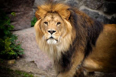 Mannelijke leeuw op zoek bovenop rots. Stockfoto