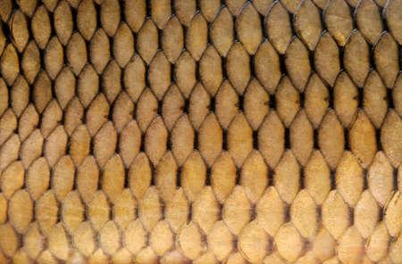 crucian: Crucian carp scales, close-up - natural texture, macro shot