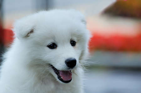 eskimo: An small white Samoyed, very cute Stock Photo