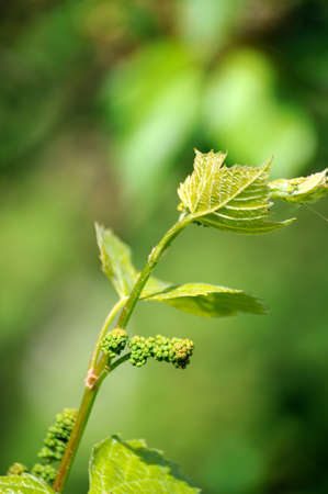 Grape vine in bloom and buds Stock Photo