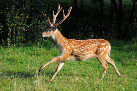 Spotted deer in the meadow in the woods. Stock Photo