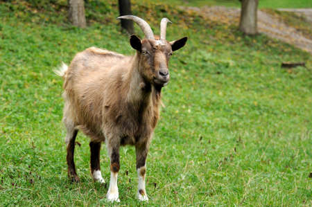 Cabra en el prado. Rebaño de cabras