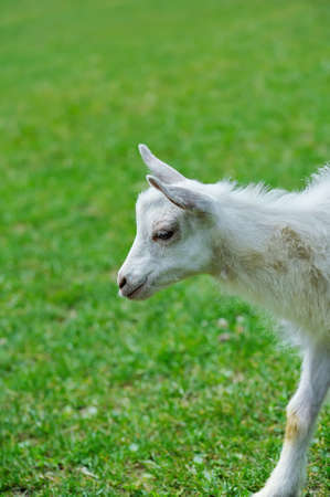 baby goat: A white baby goat against grass