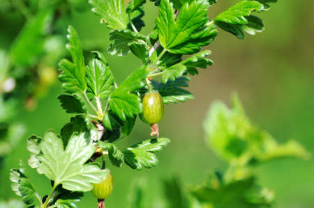 gooseberry bush: Gooseberry bush with berries and green leaves Stock Photo